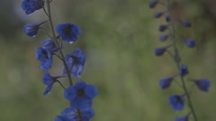 Blue-lilac flowers in a breeze. Stock Footage