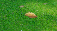 The background of green marsh grass. Duckweed Stock Footage