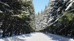 Man walking under firs. Alley of coniferous trees. Stock Footage
