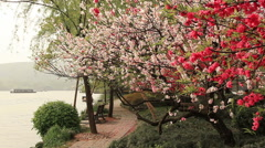 Blooming Cherry Boat China Stock Footage