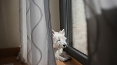 Westie basking in the sun Stock Footage