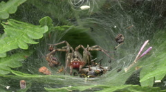 Labyrinth Spider  in his net that caught a fly Stock Footage