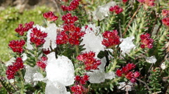 Snow Melting Red Flowers Drops Time Lapse 4K Stock Footage