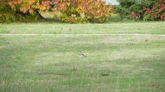 Blue jay fly in slow motion Stock Footage