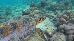 Snorkelling in the Maldives. Hawksbill sea turtles Stock Footage