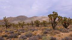 Joshua Trees in the Scenic Mojave Desert Stock Footage
