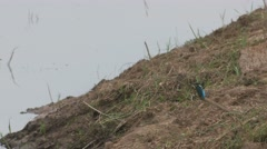 Common kingfisher resting near the pond and flying away Stock Footage