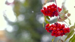 Branch of red rowan in snow Stock Footage
