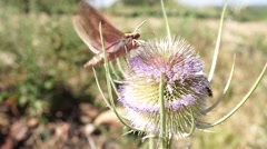 Moth flying and extracting nectar from a thistle at the end it flies away Stock Footage