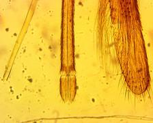 Anopheles mosquito (Anopheles sp.) proboscis - permanent slide plate under hi Kuvituskuvat
