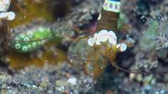 Squat anemone shrimp (Thor amboinensis) close up head Stock Footage