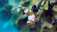 Squat anemone shrimp (Thor amboinensis) on tube anemone, close up Stock Footage
