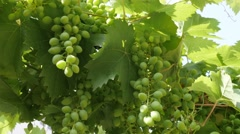 Wine grapes on the vine green fruit background 4K footage Stock Footage