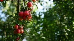 Purple and red fresh Prunus salicina common plum on tree branch Stock Footage