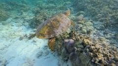 Snorkelling in the Maldives. Hawksbill sea turtle Stock Footage