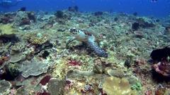 Hawksbill turtle (Eretmochelys imbricata) eating coral Stock Footage