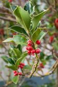 Holly branch in a garden for christmas decoration Stock Photos