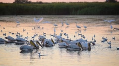 Great white pelicans forage on water at dawn. Egrets, herons and seagulls Stock Footage