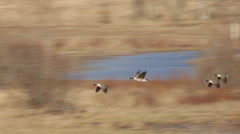 Two couples of Canada geese are flying over a stubble field in spring Stock Footage