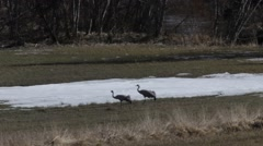 Common cranes slowly stalking over a moist meadow in early spring Stock Footage