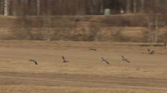 Flock of common cranes flying low over stubble fields in spring Stock Footage