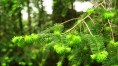 Needle branches moving in the wind in the forest Stock Footage