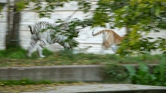 Bengal tiger white tiger pulling away and running Stock Footage