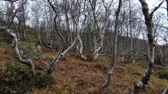 Grove of the curves of birches in the autumn forest. Stock Footage