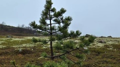 Small pine in the tundra, there is a wet snow. Stock Footage