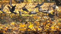 Man running and scaring pigeons in autumn park, super slow motion 240fps Stock Footage