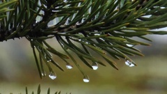Pine branch in the rain. Close-up. Stock Footage
