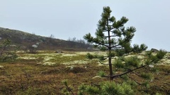 The lonely little pine tree in the tundra, there is a wet snow. Stock Footage