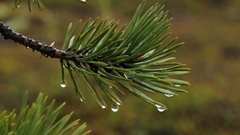 Large water drops falling from the pine needles. Stock Footage