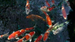 Many colors of koi carp swimming in a pond in the sunlight in Asakusa Tokyo Stock Footage