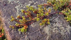 The  branch of evergreen North plants on the stone. Stock Footage