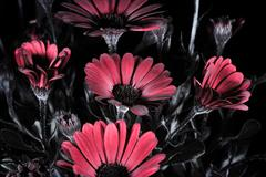 African daisies in false-color reflected UV. Stock Photos
