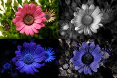 African daisy in visible light, infrared, UV fluorescence, and reflected UV. Stock Photos