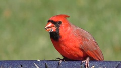 Male Northern Cardinal (cardinalis) Stock Footage