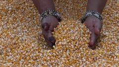 Corn Grains in a Hand Harvested 4K Footage Stock Footage