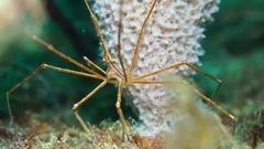 Yellowline Arrow Crab Stock Footage