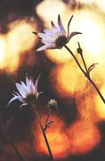Flannel flowers watching the sunset Stock Illustration