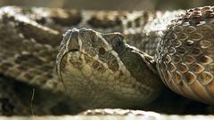 Rattlesnake, preparing to attack Stock Footage