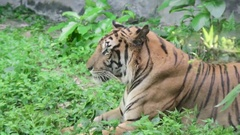 Bengal Tiger sitting and get lazy Stock Footage