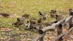 Wild Mallard ducks feed on land in the village. October or November Stock Footage