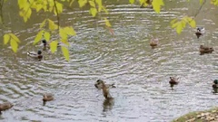 Wild ducks in the pond in the fall Stock Footage
