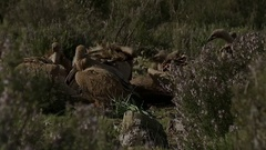 Vultures feeding and fighting for food Stock Footage