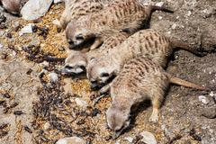 Group of Meerkats - Suricata suricatta - are fed insect, animal theme Stock Photos
