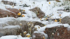 Snowing Flower  Yellow Poppies 4K Stock Footage