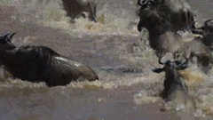 Crocodile attacking adult wildebeest crossing the mara river Stock Footage