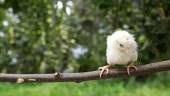 Little cute chick on the perch Stock Footage